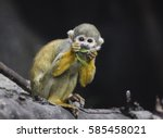 Squirrel Monkey Eating Greens