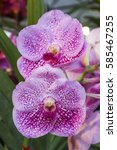 Small photo of pink vanda orchids flower