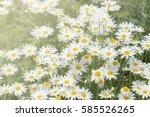 White Daisies In The Garden ...