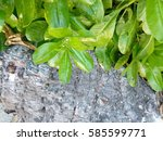 closeup of many leaves near... | Shutterstock . vector #585599771