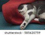 Gray Kitten Under The Hat