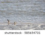 Small photo of Two common redshanks standing in the North Sea leaning against the wind.