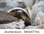 Greek Tortoise On The Rocks