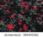 background of roses garden in... | Shutterstock . vector #585692381