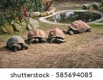 Group Of Giant Turtles Next To...