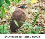 gorsachius melanolophus | Shutterstock . vector #585750935