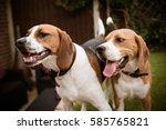 beagle having fun