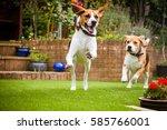Stock photo pair of beagles having fun running around the garden 585766001