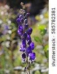Small photo of Flower, Monkshood, Aconitum napellus