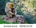 Barbary Macaque Monkey  Macaca...