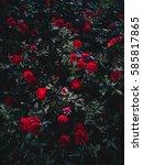 background of roses garden in... | Shutterstock . vector #585817865