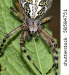 Small photo of oak spider (Aculepeira ceropegia)