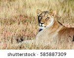 Picture Of A Lioness Looking A...