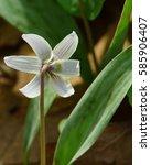 shy endangered species  dwarf...   Shutterstock . vector #585906407