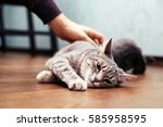 man stroking the gray cat. the...