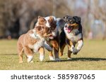 picture of australian shepherd... | Shutterstock . vector #585987065