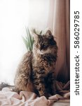 Small photo of beautiful cat looking with amazing green eyes big whiskers and funny emotions on background of window room with tulips. maine coon. space for text. morning light