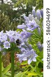 Small photo of Bumble bee on Agapanthus after rain