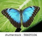 Peleides Blue Morpho Butterfly...