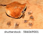 Dried Jacaranda's Fruit With...