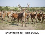 Deer Farm With Red Deer Stag...