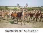Deer Farm With Red Deer Stag...
