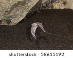 Small photo of African Sheath-Tailed Bat (Coleura afra) flying in cave, Kenya.