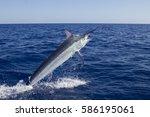 Marlin In The Coral Sea 2