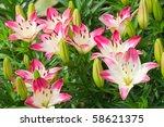 Beautiful Hemerocallis  Pink...