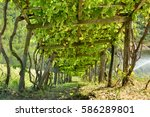 Wooden Grape Arbor Supporting...