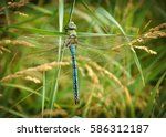 Stock photo blue dragonfly sits on the grass with a green back up 586312187
