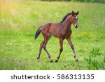 A Young Bay Oldenburg Foal Wit...