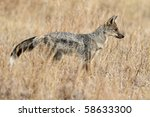 Striped jackal in the grasslands of the Serengeti - stock photo
