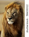 Lion male of the Serengeti, Tanzania - stock photo