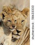 Lion Bigbrother Babysitting Cu...