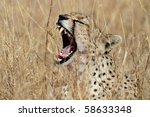 Cheetah yawning, Serengeti, Tanzania - stock photo