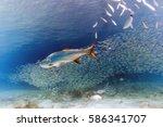 Atlantic Tarpon Megalops...