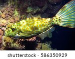 Small photo of Underwater fish. Scribbled leather jacket filefish. Aluterus scriptus
