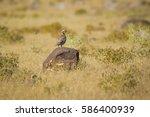 Small photo of Partridge Chukar Partridge / Alectoris chukar