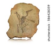 Pterodactyl Fossil ...