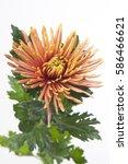 Small photo of Chrysanthemum Indicum Grp disbud Saffina Dark