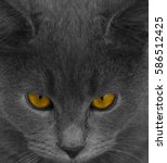 Gray Cat With Yellow Eyes. Cat...