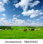 cows on meadow with green grass