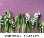 white hyacinth flowers layout... | Shutterstock . vector #586551599