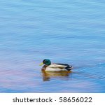 A Mallard Duck Swimming Around...