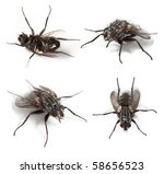 Common House Fly  Musca...