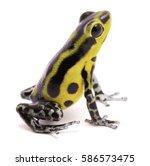 poison arrow frog  an amphibian ...   Shutterstock . vector #586573475