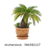 Palm Tree Cycas In Clay Pots...