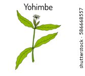 yohimbe  pausinystalia johimbe  ... | Shutterstock .eps vector #586668557