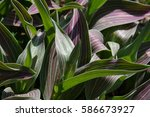 striped tulip leaves background | Shutterstock . vector #586673927